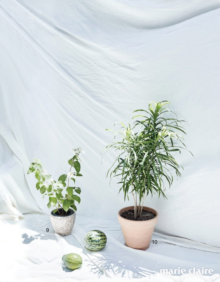 . 9 여름에 작고 동글동글한 흰 꽃을 피우는 다루마수국나무. 10 이국적인 형태가 매력적인 자바나무.