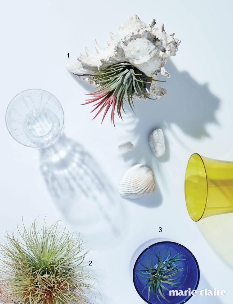 1, 3 파인애플과 식물인 틸란드시아 이오난사. 흙 없이 나무나 공중에 매달려 자란다. 여름에는 일주일에 1~2회 30분씩 물에 담가주는 것이 좋다. 2 틸란드시아 이오난사와 함께 공기 정화 식물로 사랑받는 틸란드시아 안드레아나는 잎이 가늘어 과하게 건조하거나 습하지 않게 주의해야 한다.