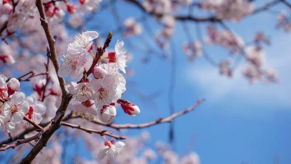 벚꽃 봄 윤중로